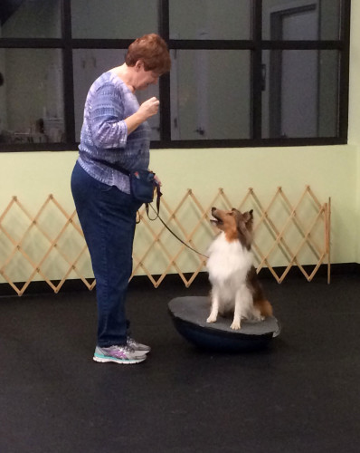 Becky's dog Scooter has his own take on what to do with a Bosu. Supreme balance... Cute too. Mountian View Dog Training's Click for Tricks class.